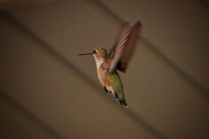 Hummingbird Bird Inflight Wings Motion Nature