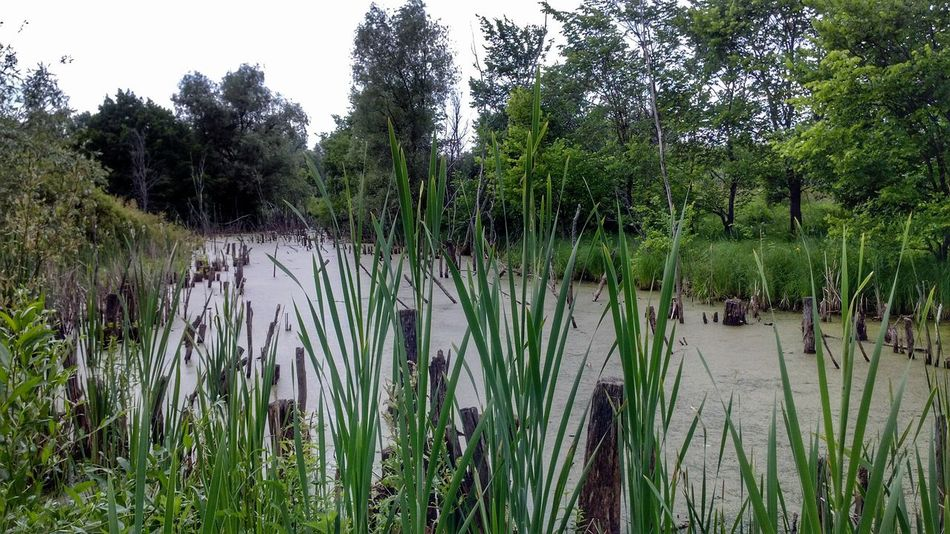 Nature Landscape Rush Reed