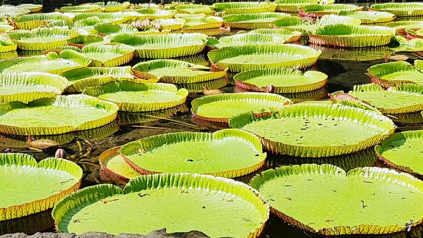 Growth Green Color Nature Outdoors Lily Pad Giant Lily Pads Pamplemousse Beauty In Nature