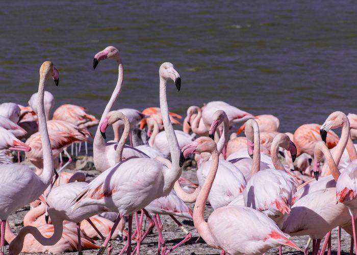 Flamingos On Lakeshore