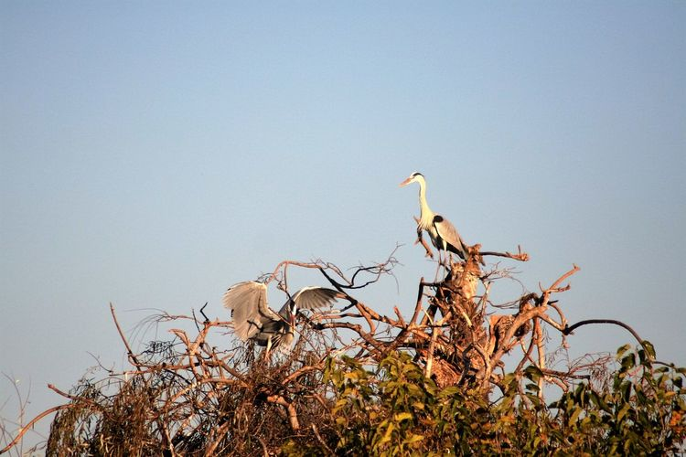 Low angle view of cranes perching on branch