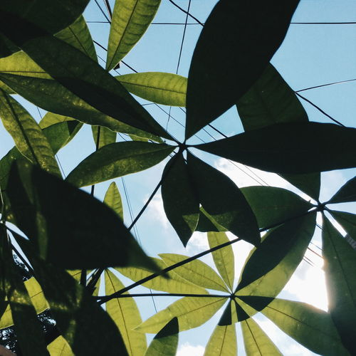 Leaf Close-up Sky Green Color Growth Tranquility Plant Day Nature Green Botany Leaves Beauty In Nature No People Low Angle View Money Tree Home Blue Luck