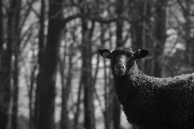 At the Sheep farm Animal Animal Themes Baby Bnw Forest Looking At Camera Mammal Nature One Animal Portrait Sheep