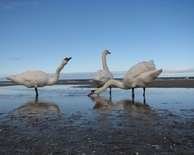 At The Seaside Swans Animal Themes Animal Wildlife Animals In The Wild Beauty In Nature Bird Long Necks Nature Reflection Sea Shore Swan Togetherness Triple Water White Bird Of Paradise White Birds Standing