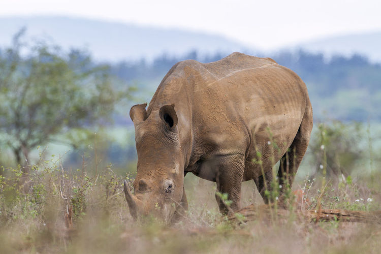 Rhinoceros on field in forest