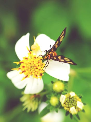 Insect Flower Animals In The Wild Selective Focus Leaf Plant No People Uncultivated Nature Animal Wildlife Freshness Fragility Feeding  Animal Themes Outdoors One Animal Eating Perching Full Length Beauty In Nature Tiger Moth