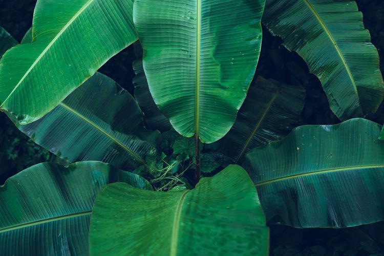 Dark leaves Leaf Plant Part Green Color Close-up Leaves Growth No People Beauty In Nature Banana Leaf Nature Plant Natural Pattern Day Leaf Vein Banana Tree Outdoors Full Frame Freshness Pattern Tranquility