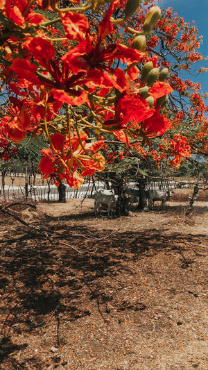 Red flowering trees on field during autumn