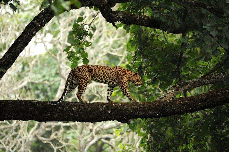 Wild leopard Animal Themes Animal Wildlife Animals In The Wild Beauty In Nature Branch Day Leopard Mammal Nature No People One Animal Outdoors Safari Animals Tree Wildlife Fresh On Market 2017