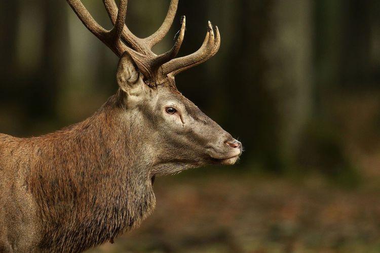 Red deer looking away standing in forest