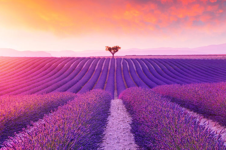 Scenic view of flower on field against sky during sunset