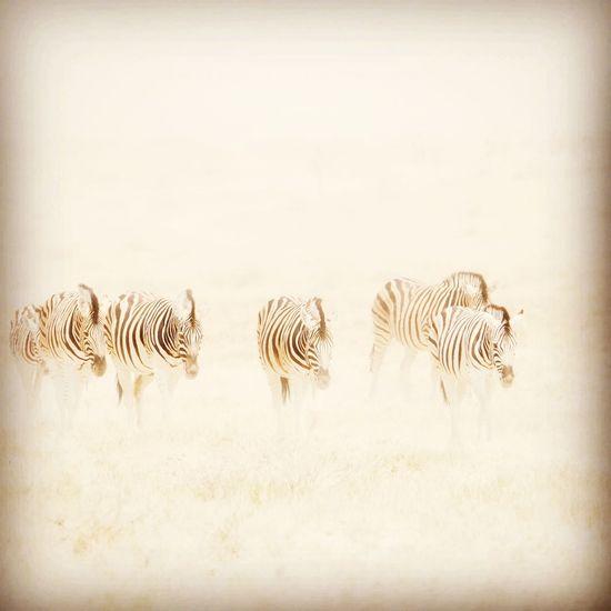 EyeEm Selects Zebra Safari Animals Wilderness Area Camouflage Animal Markings Spotted Plain