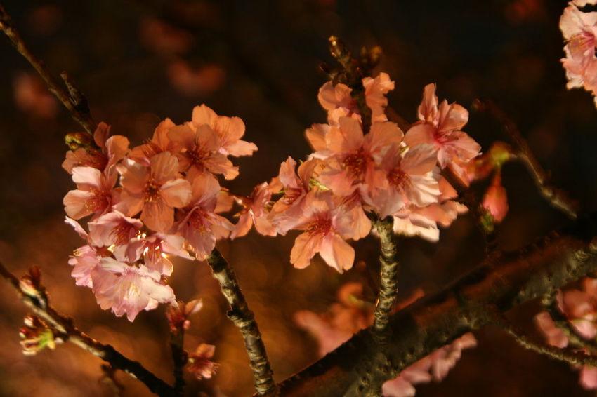 2017新竹公園櫻花季 Beauty In Nature Flower Growth Outdoors Tree