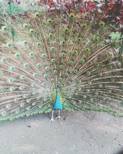 Peacock Bird Nature Animal Themes Beauty In Nature One Animal