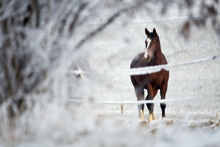 Horse behind a fence in a winter landscape