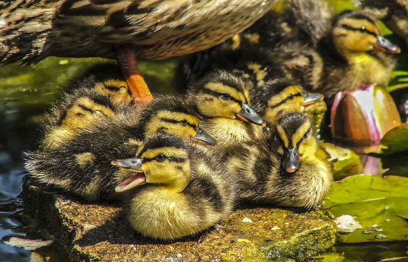 Close-Up Of Ducklings In Pond