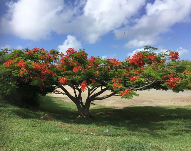 Flamboyant in Caribean Tree Beauty In Nature Tranquil Scene Flower Red Flower Symmetry Extravaganza