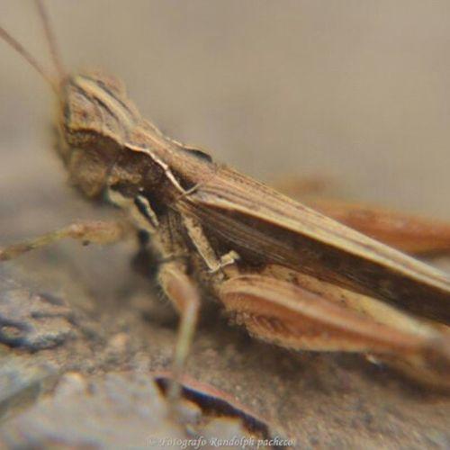Saltamonte кузнечик Grasshopper