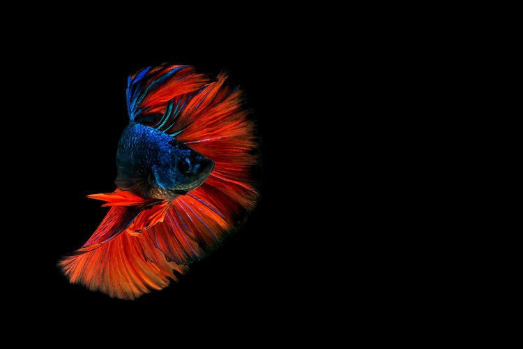 One Animal Vertebrate Animal Themes Animal Animal Wildlife Black Background Studio Shot Copy Space Bird Animals In The Wild Indoors  No People Parrot Macaw Close-up Multi Colored Beauty In Nature Orange Color Nature Scarlet Macaw Marine Fighting Fish Half Moon