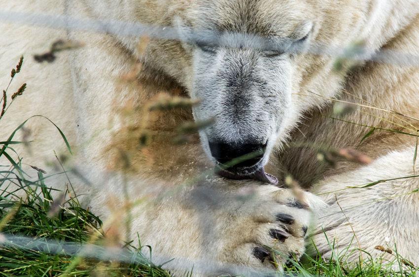 The Highland Wildlife Park on a rainy day. Bear Polar Bear Rain Scotland Animal Themes Animal Wildlife Animals Claws Close-up Day Highland Wildlife Park Mammal Nature No People One Animal Outdoors Paws Scottish Highlands Tongue White Wildlife