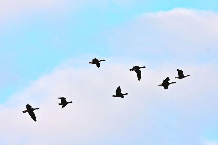 Sky Animal Themes Bird Flying Animal Group Of Animals Animals In The Wild Low Angle View Spread Wings Cloud - Sky Mid-air Animal Wildlife No People Nature Large Group Of Animals Flock Of Birds Outdoors Motion Ducks