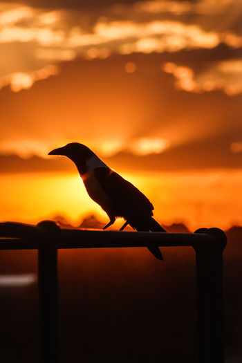 Crow sitting on a balcony during sunset Crow Silhouette Johannesburg Orange Sunset Animal Themes Beauty In Nature Bird Silouette Crow Day Joburg Nature No People One Animal Outdoors Silhouette Sky Sunset