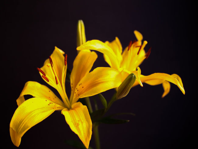 Yellow Nature Black Background Close-up Flower Beauty In Nature Fragility Flower Head Petal Freshness No People Stamen Night Outdoors Flower Photography Flowers Blossom Bokeh Yellow Lillies Yellow Lily Flower Quotes Flower Arrangement Plant Plants