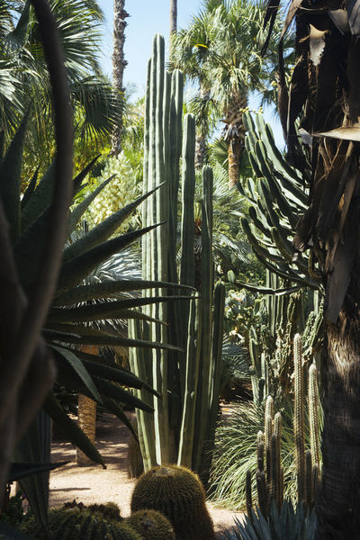 Cactus Cactus Garden Day Green Color Growing Growth Majorelle Maroc Morroco Nature No People Outdoors Plant Repetition Tree