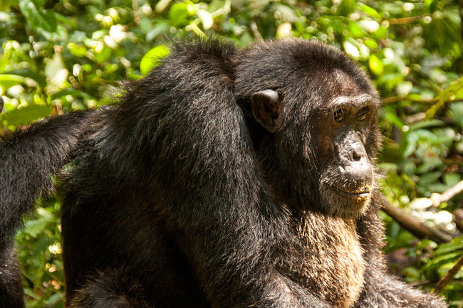 Chimpanzee trekking in Kibale Forest National Park Adventure Africa African Animals Animal Themes Animals In The Wild Beauty In Nature Chimp Chimpanzee Chimpanzee Trekking Chimpanzees In The Wild Forest Hiking Kibale Forest Kibale Nationalpark Mammal One Animal Outdoors Rainforest Uganda  Zoology