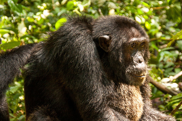 Close-up of gorilla in forest during sunny day