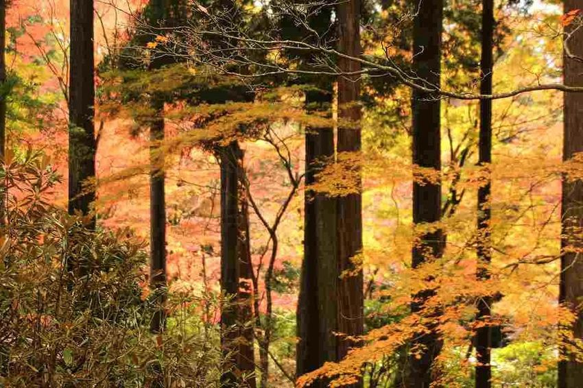 Autumn Beauty In Nature Forest Hakone Nature No People Tree