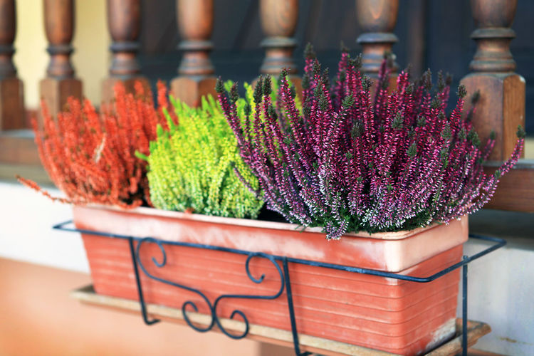 Colorful potted flowers blooming against railing