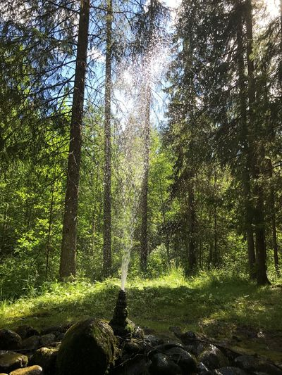 Springkällan I Rättvik Tree Forest Nature Growth Beauty In Nature WoodLand Green Color Day No People Scenics Tranquility Tranquil Scene Outdoors Tree Trunk Branch Pine Tree Sunlight Sky