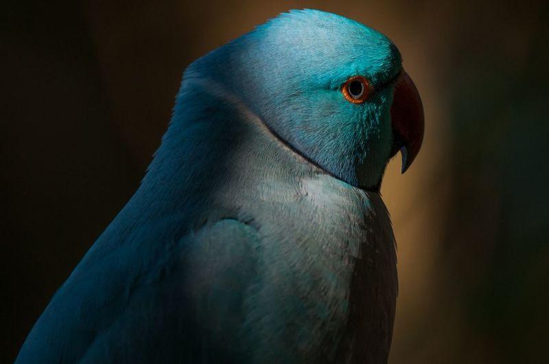 Bird Peacock Parrot Beak Blue Cockatoo Feather  Closing Close-up