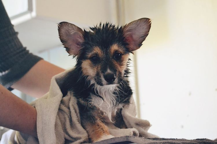 Cute corgi pup Pets Domestic Animals Dog One Animal Animal Themes Human Hand One Person People Pet Corgi Corgi Pembroke Pembroke Welsh Corgi Pembroke Caring Cute Wet Adorable Pet Portraits