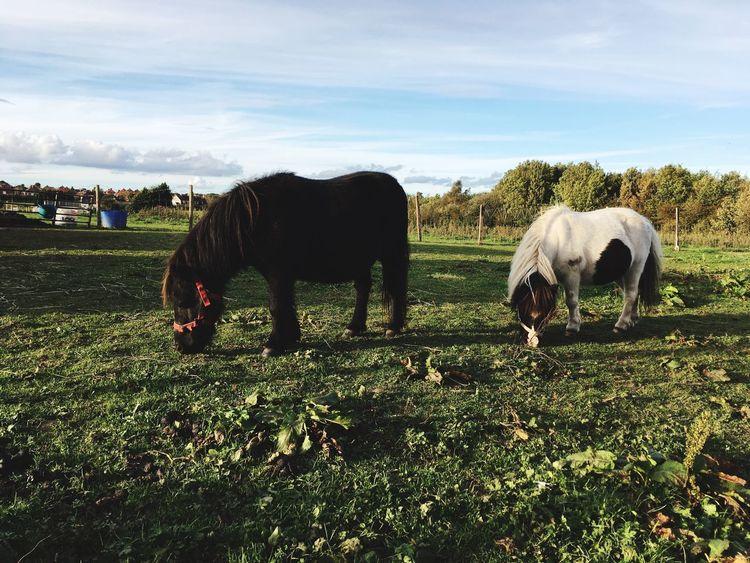 Horses Ponies Shetland Pony