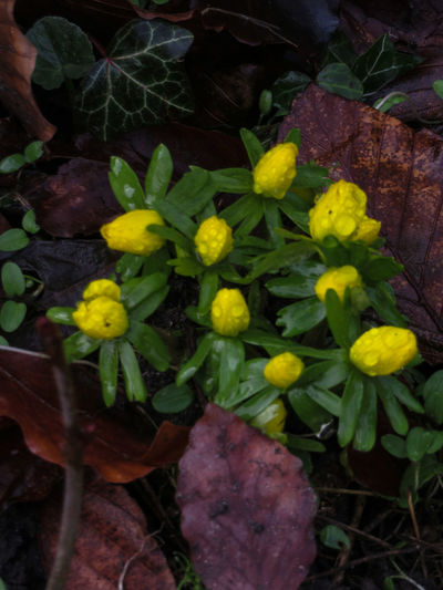 Growth Yellow Leaf Nature Close-up Plant Freshness Green Color Outdoors Beauty In Nature Eranthis Neon Life Paint The Town Yellow