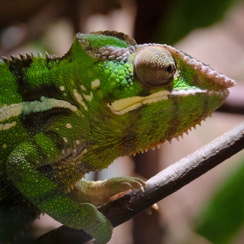 Animal Themes Animal Wildlife Animals In The Wild Beauty In Nature Branch Chamaeleon Chamaeleonidae Chameleon Chamäleon Close-up Colorful Day Focus On Foreground Green Green Color Nature No People One Animal Outdoors Reptile Tree