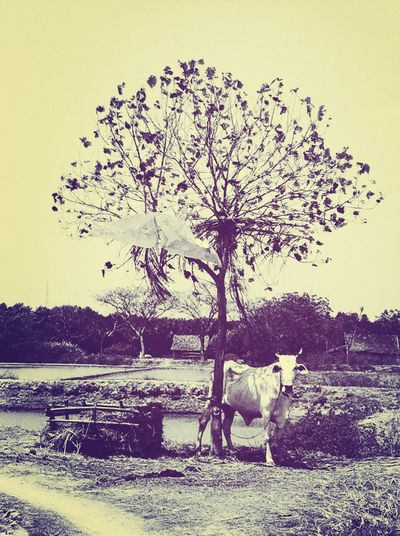 A cow and a tree Lasem Cow Tree Traveling