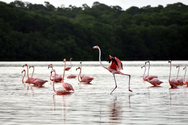 Flamingo taking off  in celestun, yucatán, méxico.