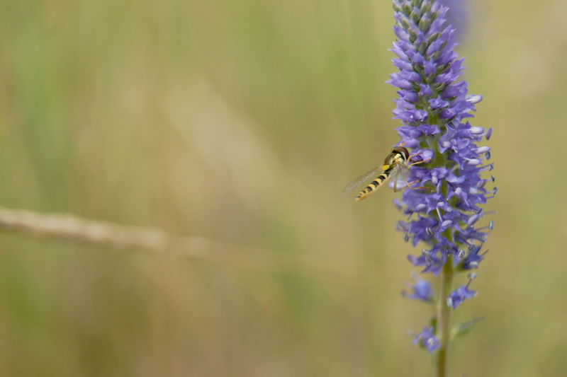 Animal Wildlife Bee Mimicry Blooming Close-up Flie With Bee Mimicry Flie With Wasp Mimicry Flower Flower Flies Fragility Hoverflies Family Hoverfly Insect Pollination Sphaerophoria Syrphid Flies Syrphidae Wasp Mimicry Wildlife