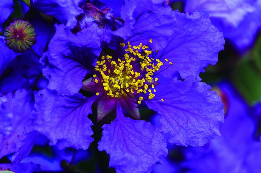 Beauty In Nature Blooming Blue Close-up Day Flower Flower Head Fragility Freshness Growth Nature No People Outdoors Petal Plant Purple 南宁青秀山
