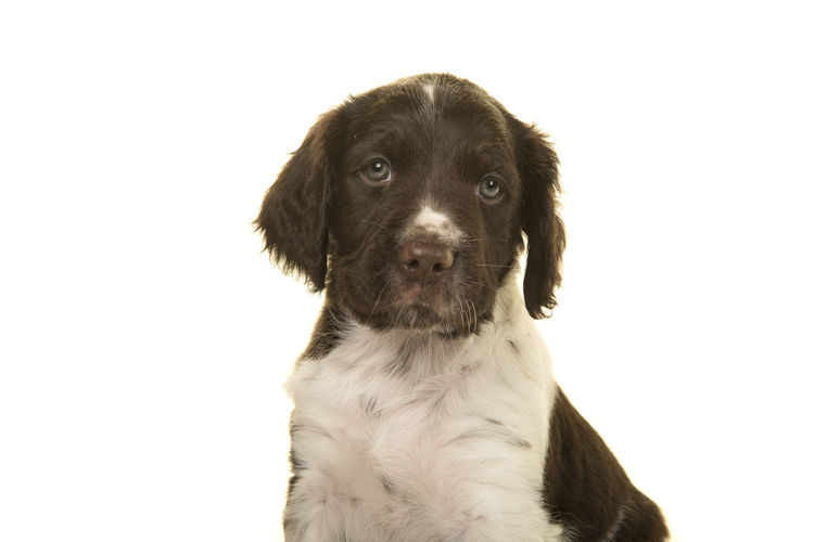 Portrait of a cute small munsterlander puppy dog on a white background looking at the camera Puppy Portrait Dog Portrait Heidewachtel Small Münsterlander Kleiner Münsterländer White Background Looking At Camera Animal Themes One Animal Animal Dog Pets Studio Shot Cut Out Canine