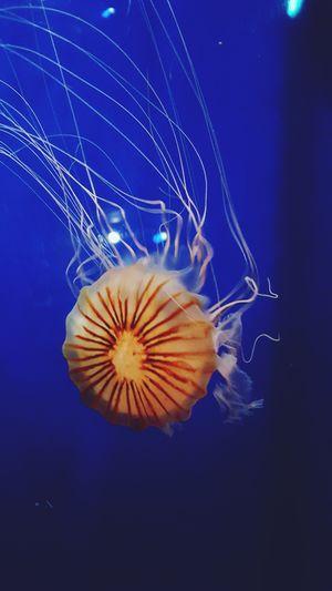 Jellyfish at