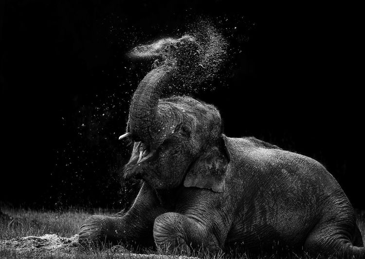 Elephant splashing water on field