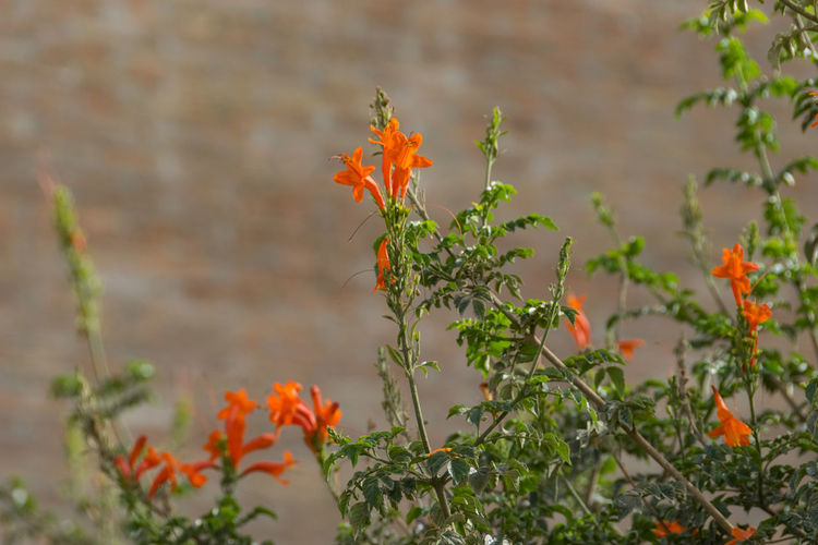 Flower Plant Flowering Plant Orange Color Nature Growth Beauty In Nature Freshness Fragility Botany Day Outdoors Plant Part Focus On Foreground Leaf Selective Focus Branch