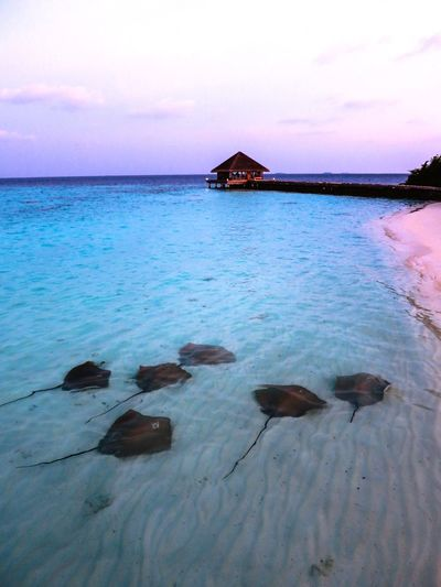 Stingrays moving along the beach / Stachelrochen Rochen Rays Water Sky Sea Tranquility Beauty In Nature Scenics - Nature Tranquil Scene