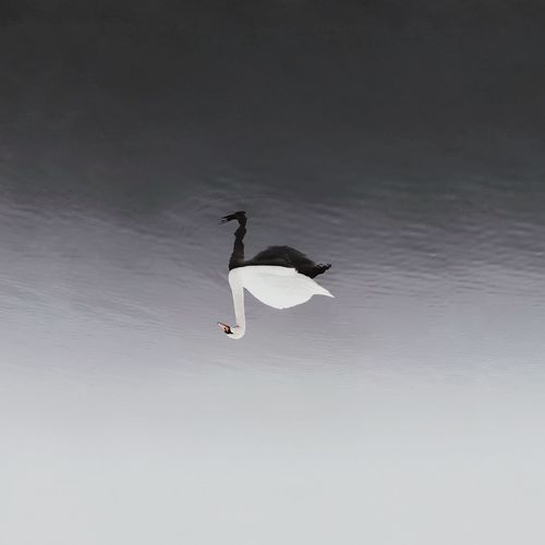 ⚪⚫︱mellow gradient Swan Nature Nature_collection Nature Photography Naturelovers EyeEm Best Shots First Eyeem Photo EyeEmNewHere VSCO Minimalism Samsungphotography Minimal EyeEm Nature Lover Lake Reflection Reflections In The Water Blackandwhite Photography Black & White Sea Sea And Sky Mazury Nature On Your Doorstep Bird Spread Wings Bird Of Prey Flying Mid-air Full Length Sky Gray Heron The Creative - 2018 EyeEm Awards