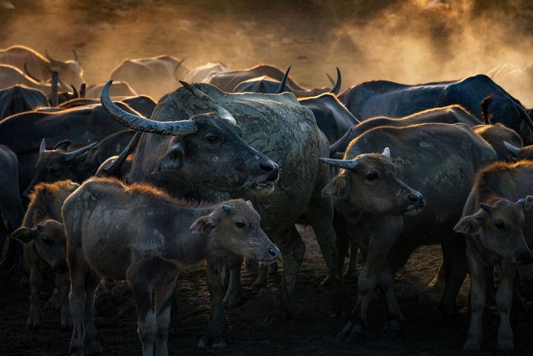 Buffalo in field at Nakhonsithammarat, Thailand. Buffalo Smoke Thailand Light And Shadow Nakonsithammarat Fresh On Market 2017