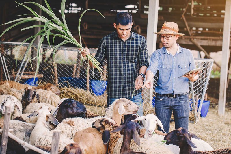 Financial advisor discussing with farmer by sheep at farm